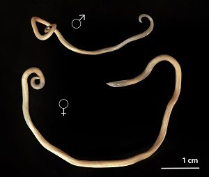 Veterinary images of roundworm